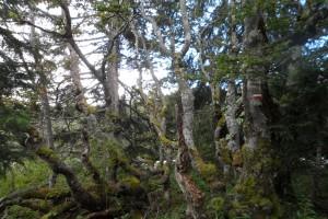 Trek Salam Montagne - Vercors - plateau Sornin - arbre ambiance magie