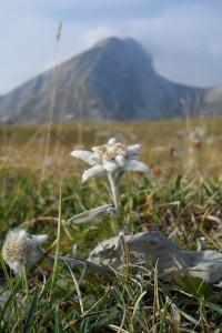 Trek Salam Montagne beauté fleur edelweiss Vercors grand Veymont