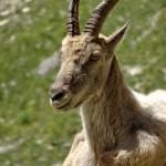 trek salam montagne -  animaux - bouquetin - Cerces