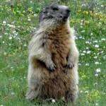 trek salam montagne -  animaux - marmotte