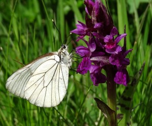 trek salam montagne - esprit papillon - gazé - nigritelle - fleur - beau